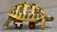 Nemocná německá želva se pohybuje díky kolečkům z Lega