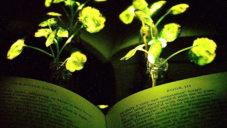 MIT vypěstovalo až čtyři hodiny svítící rostliny tlumeným světlem