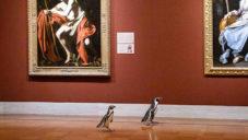 Několik tučňáků z místní zoo navštívilo muzeum umění v Kansas City