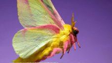 Ant Lab natočil krásu sedmi motýlů rychlostí 6 000 snímků za sekundu